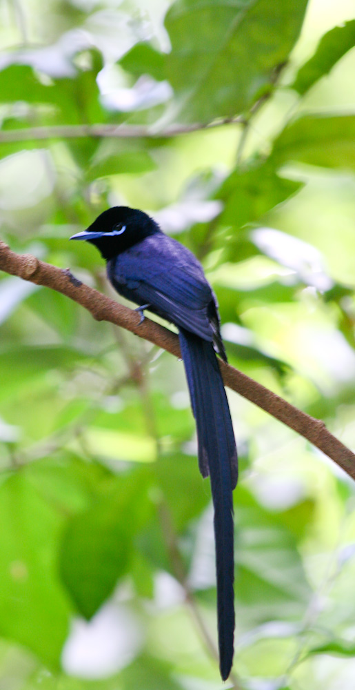 Seychelles_Paradise-flycatcher